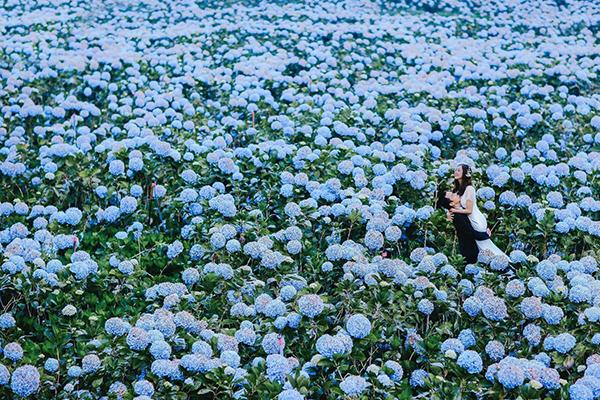 Hoa cẩm tú cầu nở rộ cả vùng trời xanh ngắt